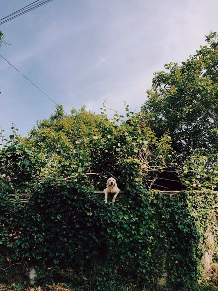 6.8 / 6:18 post meridiem // This dog's backyard lines the park where dogs and kids were playing. This dog wanted to join so it happily watched like this for a long time. It was adorable.