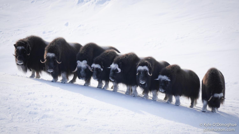 Musk Ox Herd