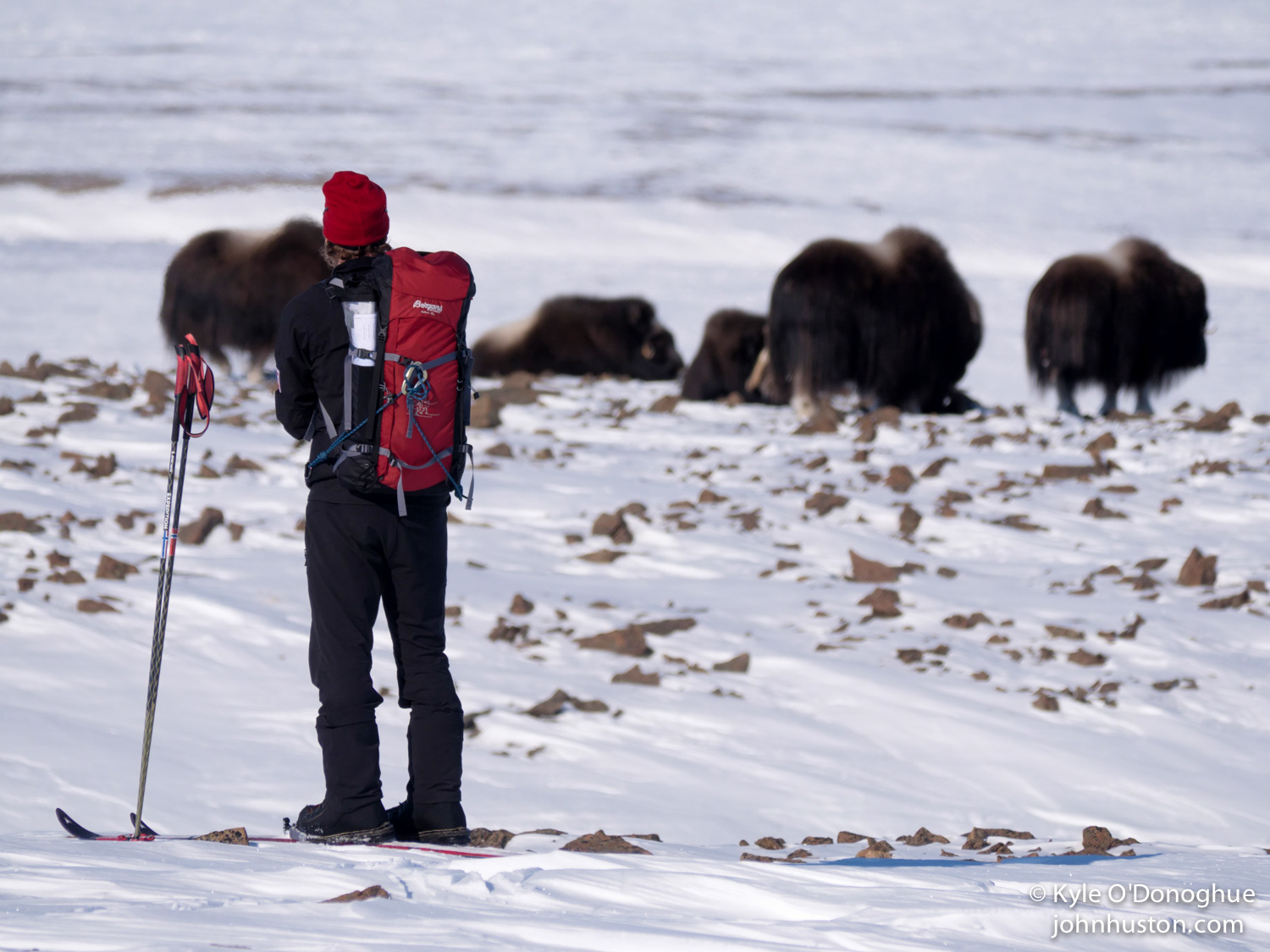 Toby checks out the Musk Oxen