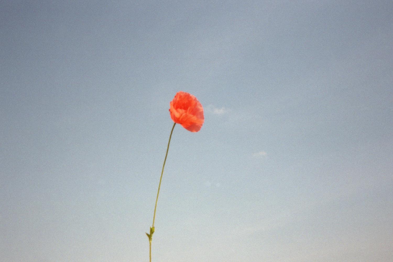Poppy on a summer day