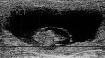 How Much Does an Open Cow Cost? | Early Pregnancy Diagnosis -