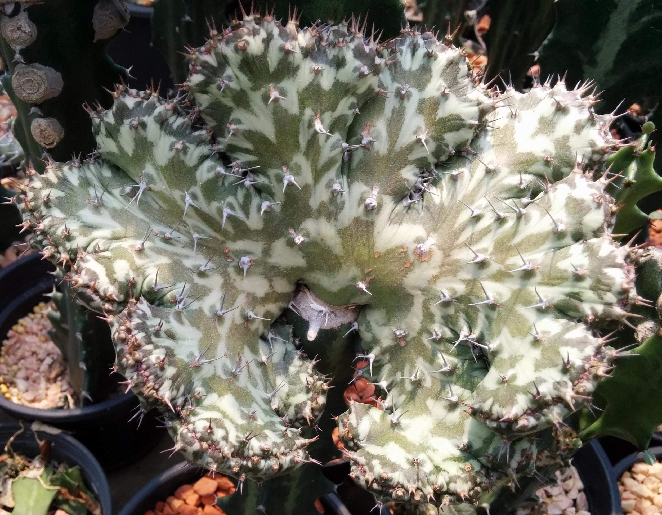 Euphorbia horwoodii crested