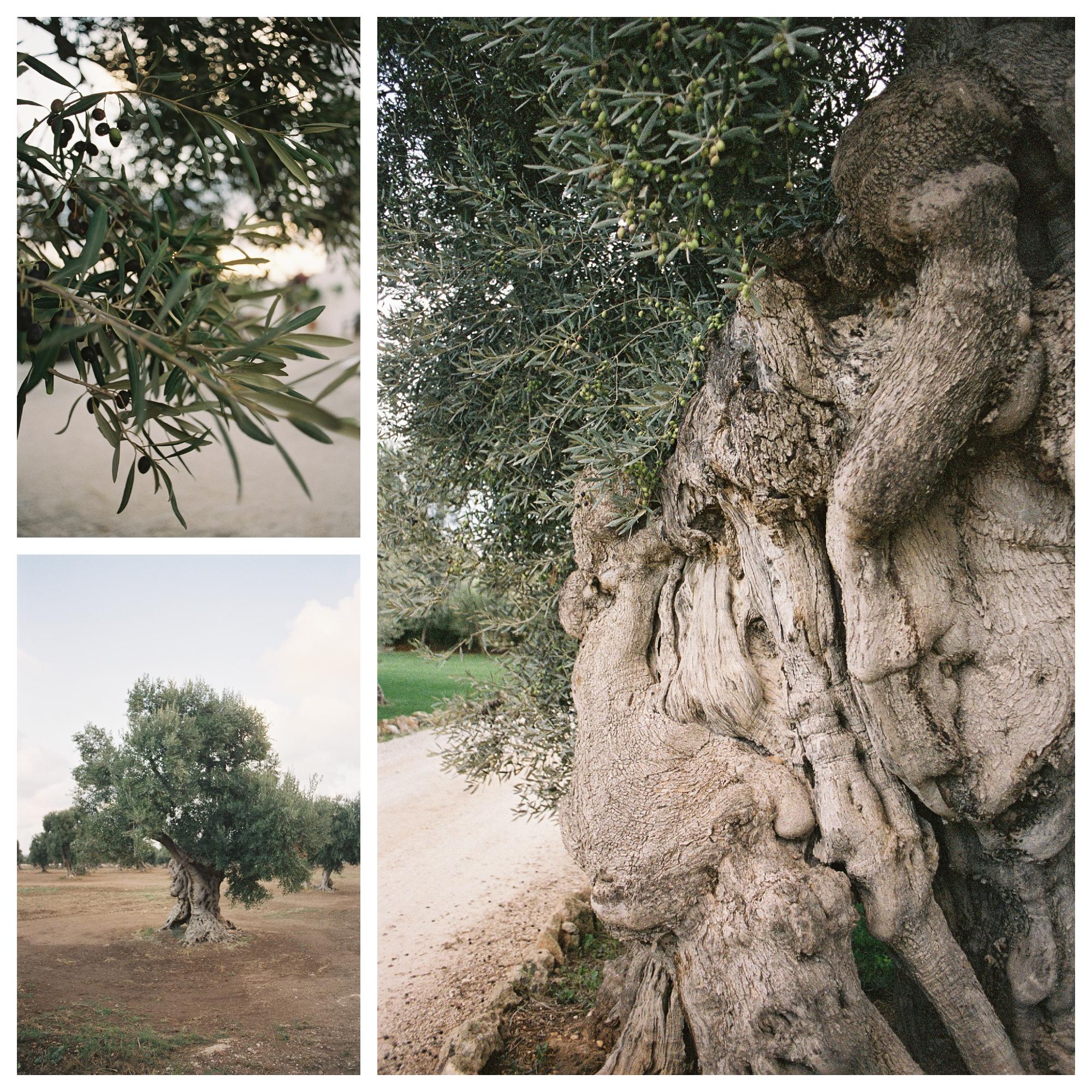 destination wedding puglia, olive trees groove