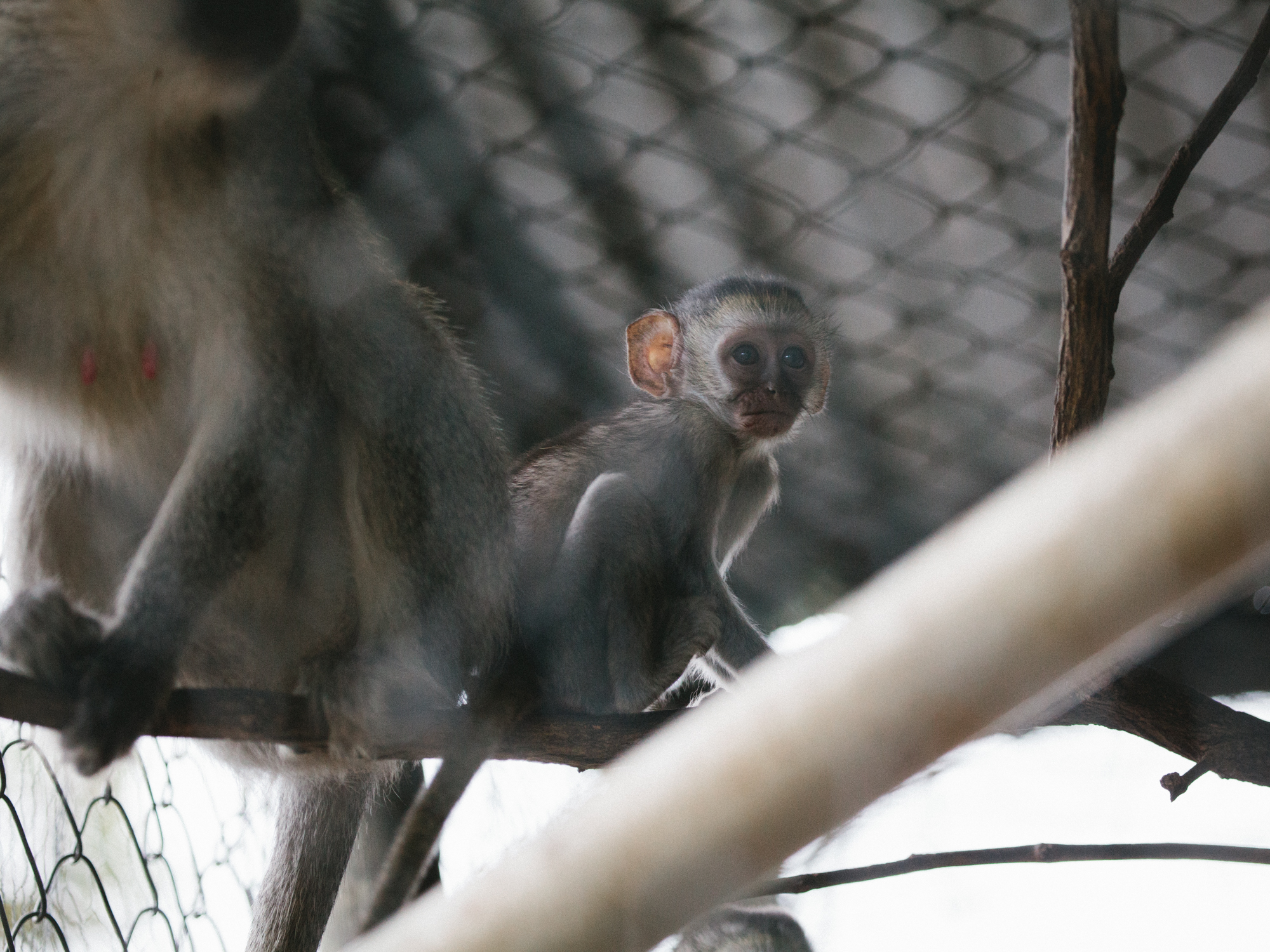 A baby vervet mid integration hangs out with a potential foster mom