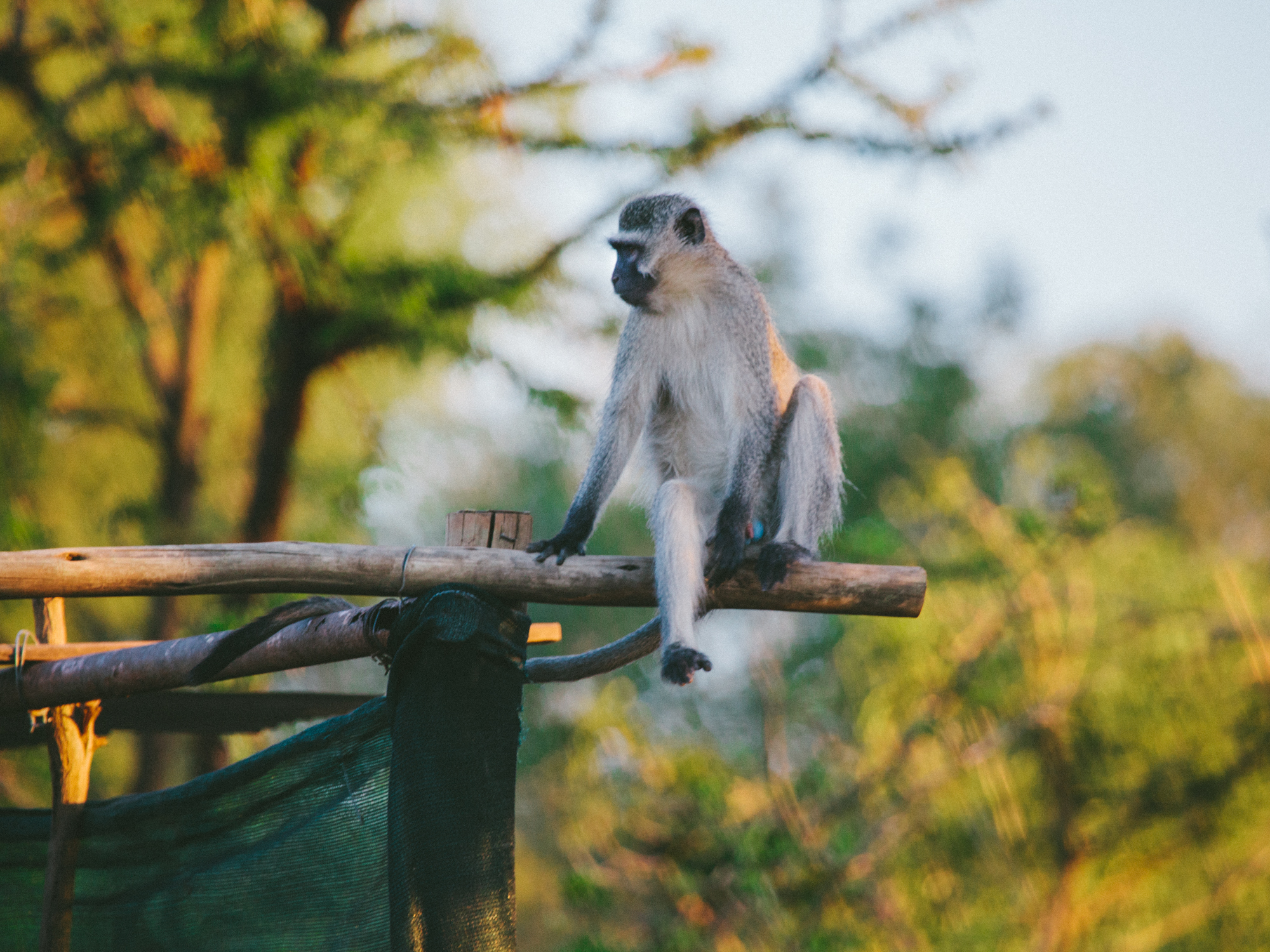 A vervet takes advantage of one of the structures in his enclosure