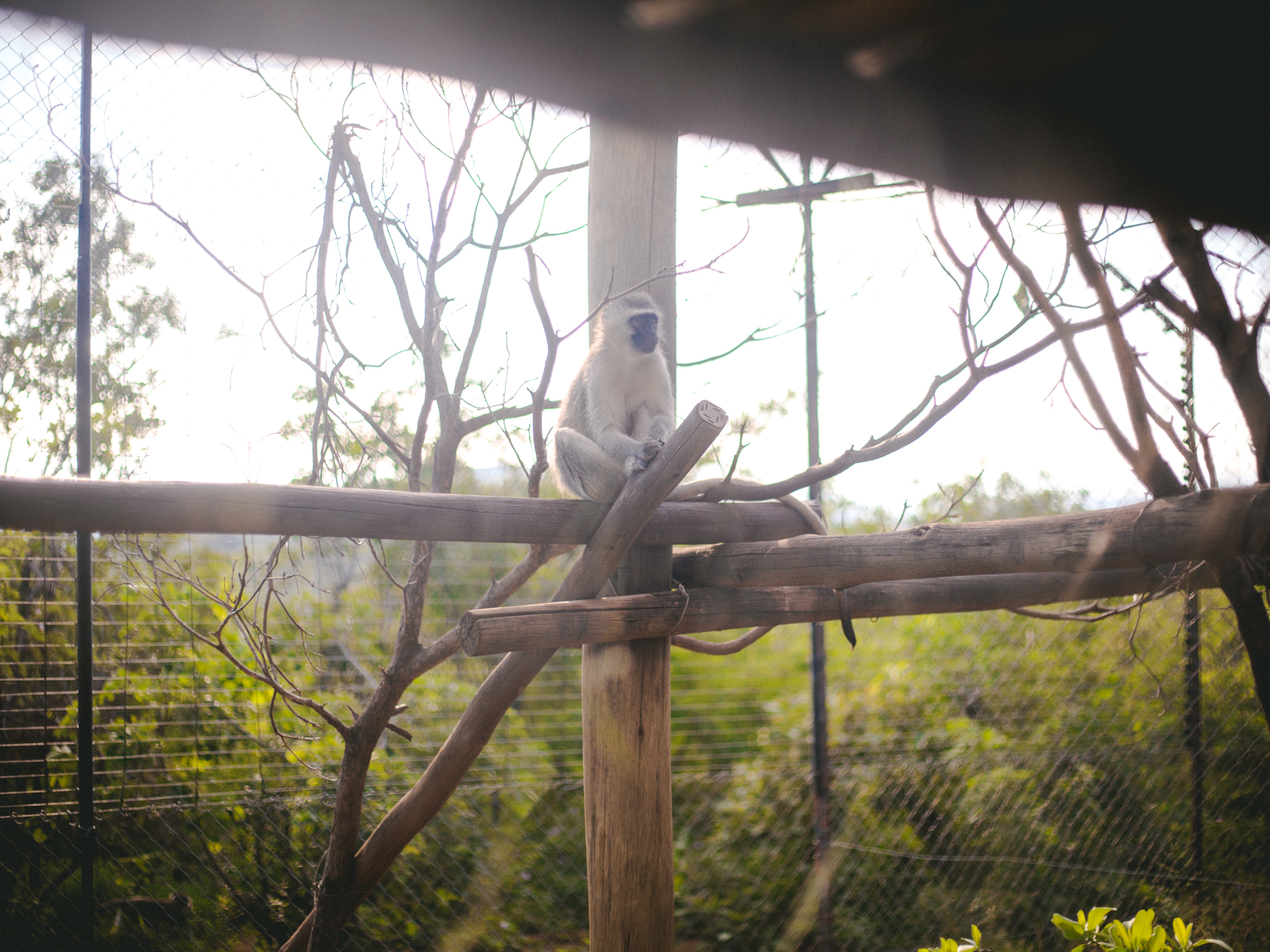 A vervet hangs out on some branches in an enclosure.