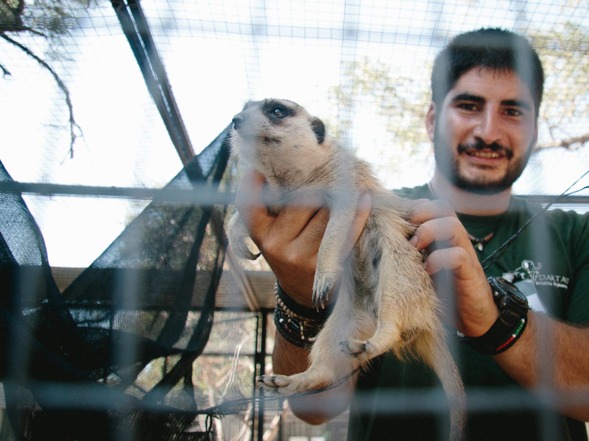 A volunteer shows off one of Daktari's many rescued meerkats