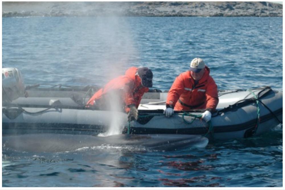 Releasing Minke Whale from gear, Wild Bight, 2007