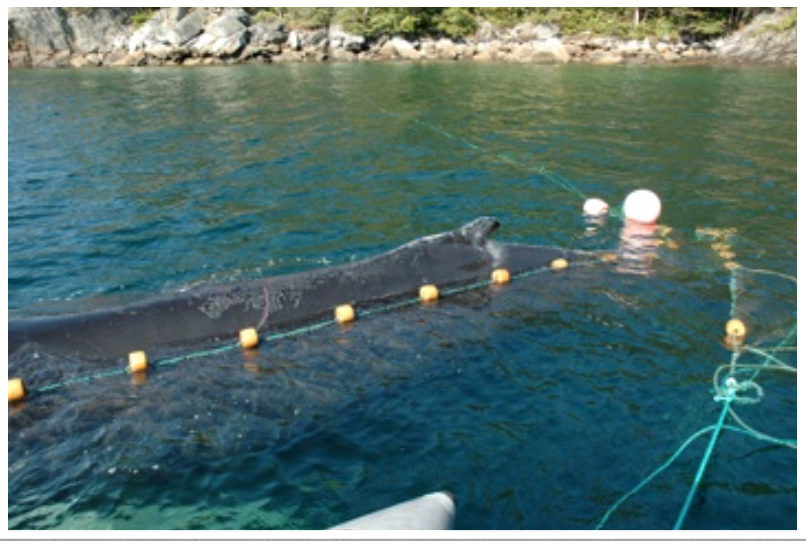 A humpback whale entrapped in a mackerel trap, Westport, White Bay, NL (2008).