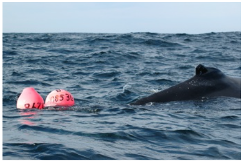 A humpback whale entangled and being released from snow crab crab gear, Bay de Verde, NL. (2006)