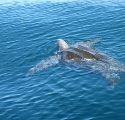 Leatherback Sea Turtle (Change Islands, September 2010)         Photography by Peter Stacey
