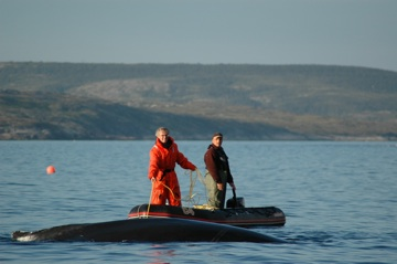 Releasing a humpback whale from Toad crab gear, St. Lewis, Labrador (2005).