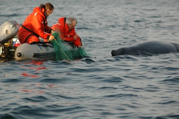 A humpback whale being released from gillnets near Grand Beach, Fortune Bay, NL. (2006)