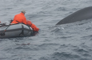 Determining how the humpback whale is entangled, Downing Basin, Grand Banks, NL. (2006)