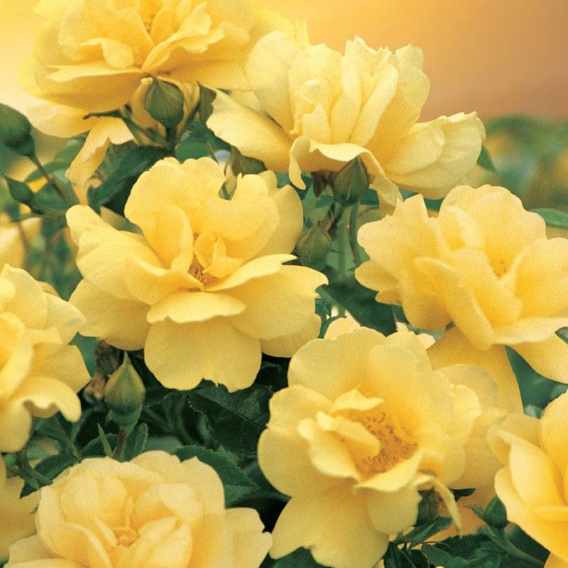 large-Flower Carpet Gold.jpg