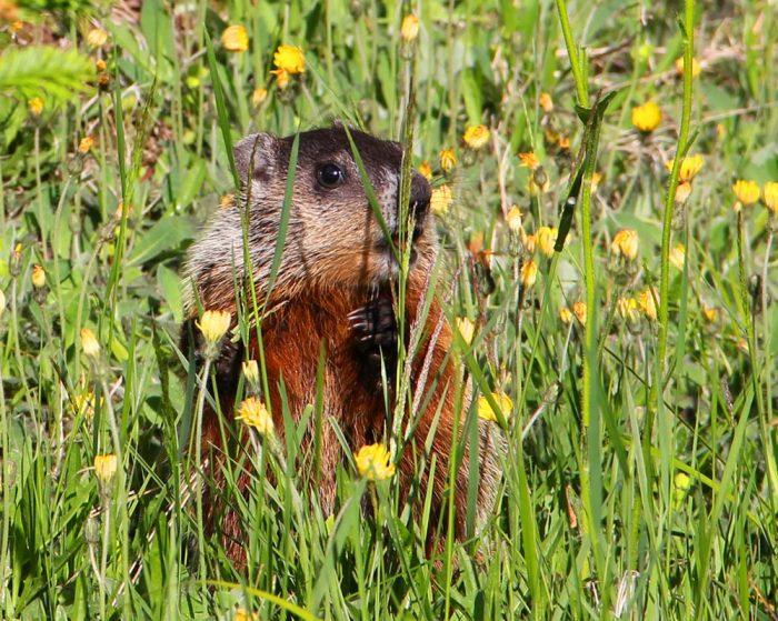 groundhog-grass.jpg