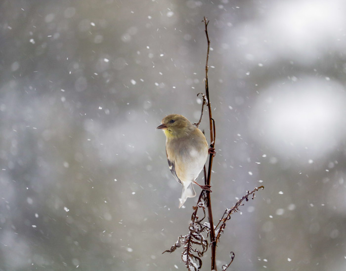 perched-american-goldfinch.jpg