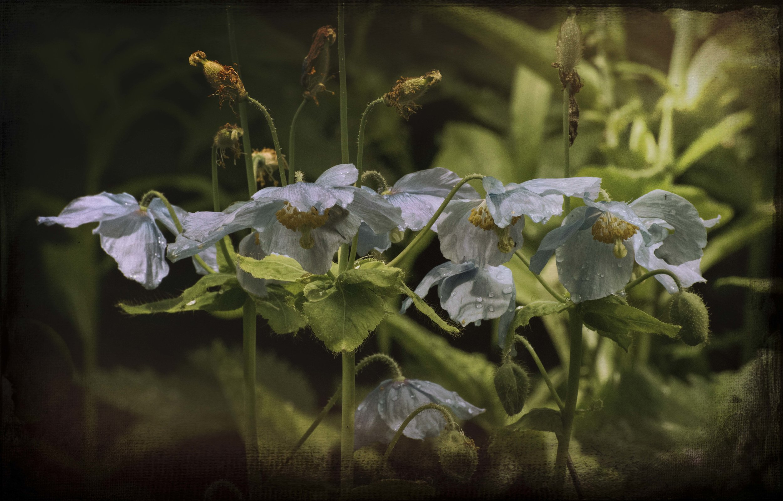blue poppies in the rain photographed a few months ago