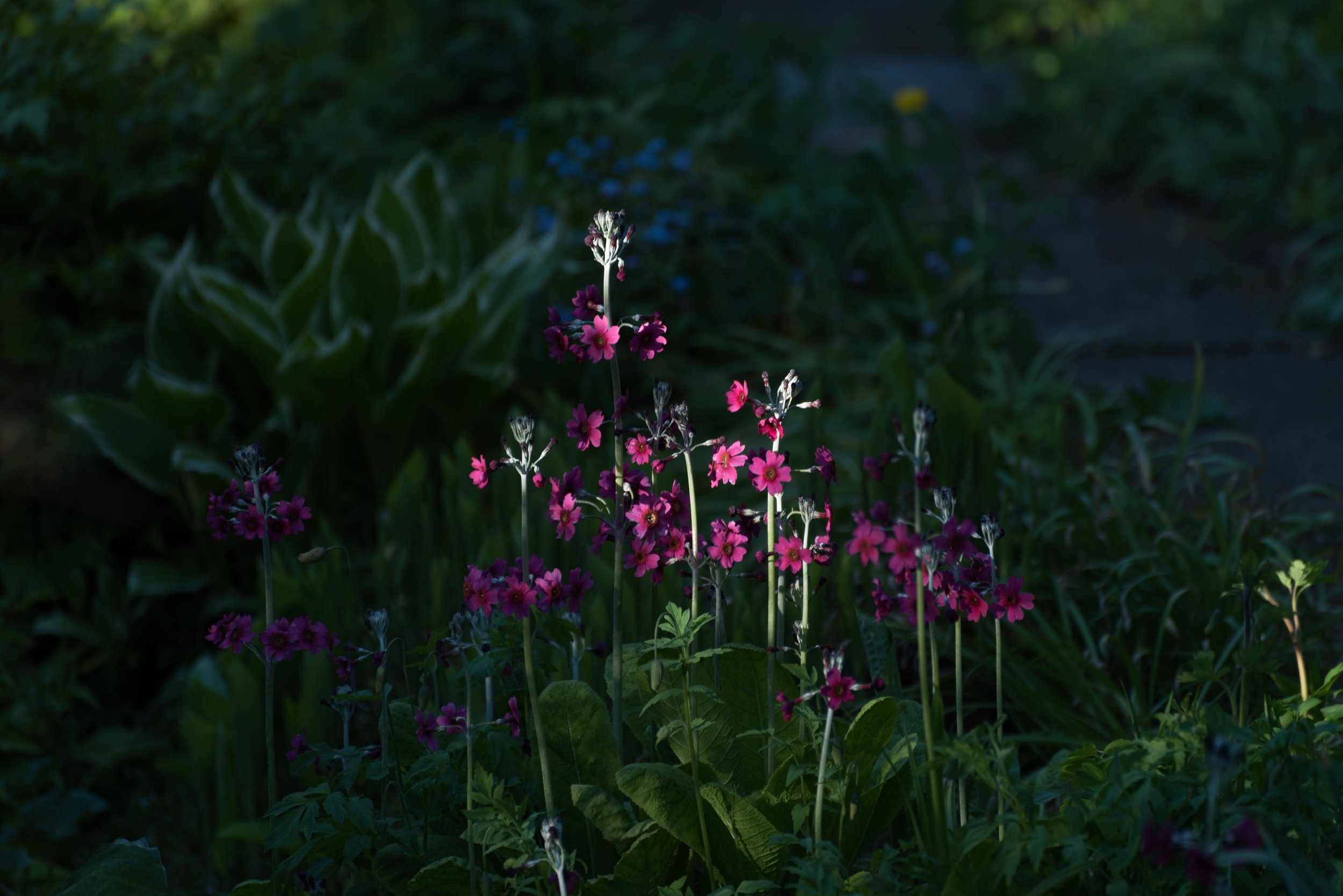 Candelabra primula's in the late afternoon sun