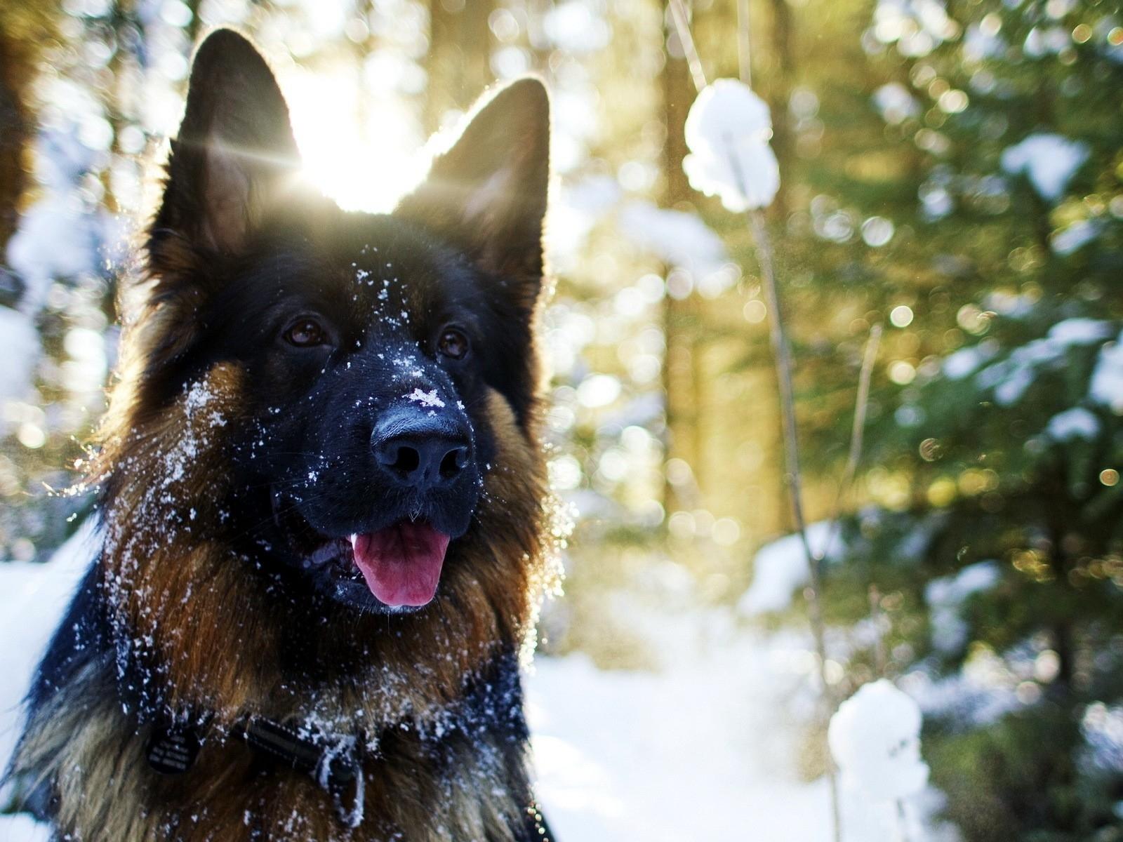 snow_animals_dogs_german_shepherd_Wallpaper_1600x1200_www.wallpaperswa.com.jpg