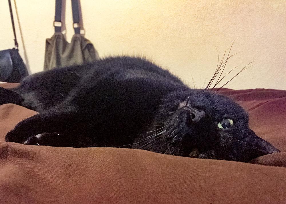 billy-black-cat-cattown-foster