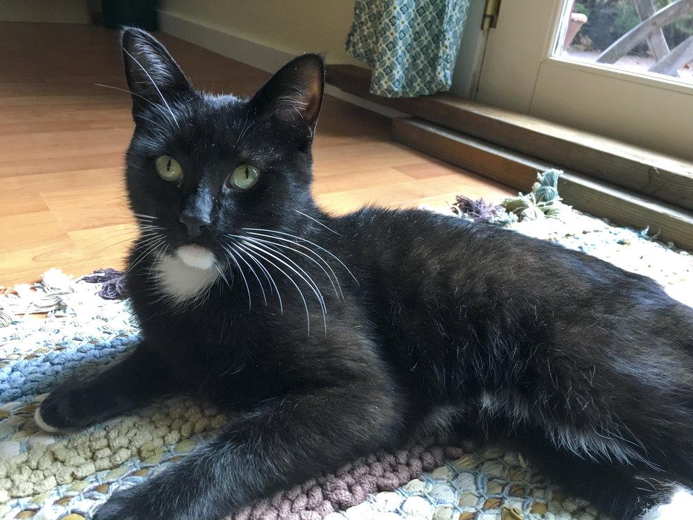 wyatt-black-cat-cattown-foster