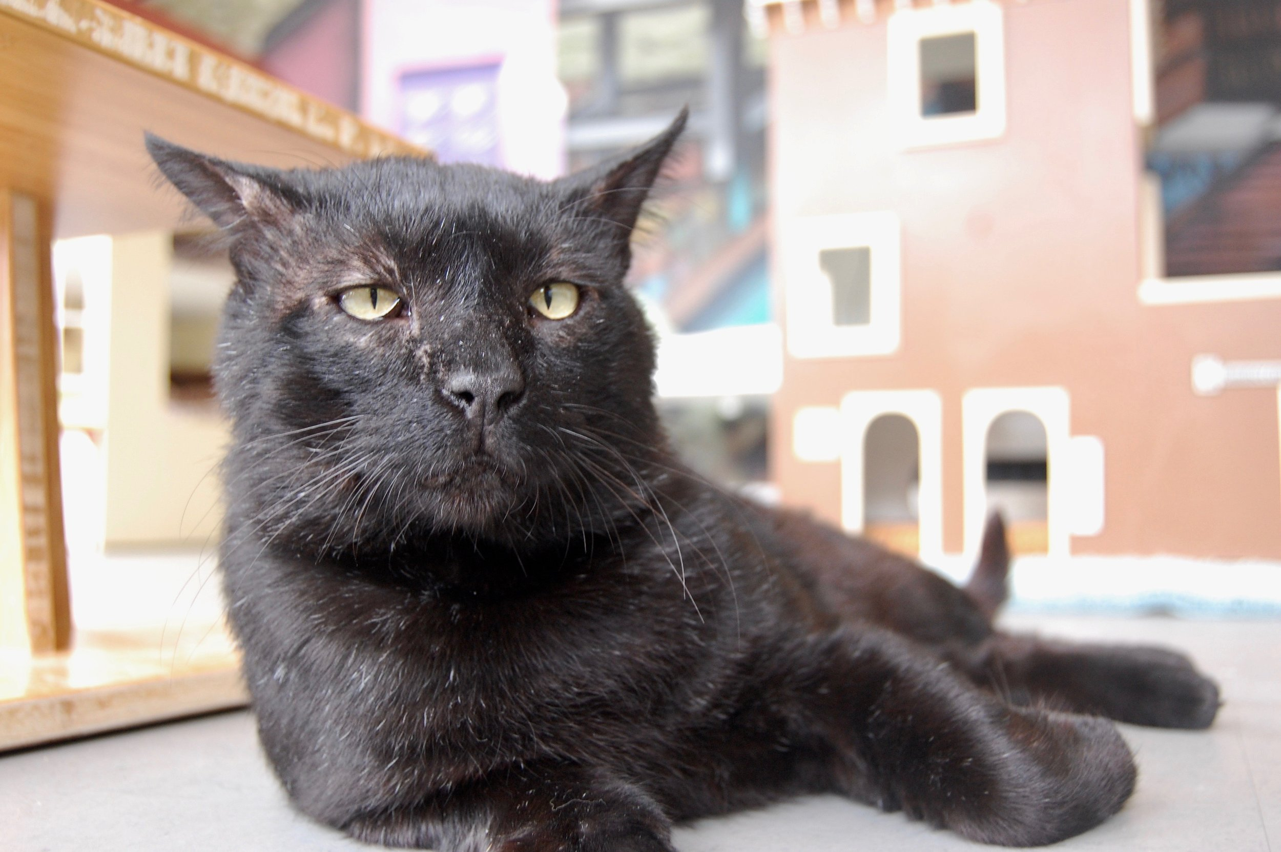 adorable-black-cat-cattown