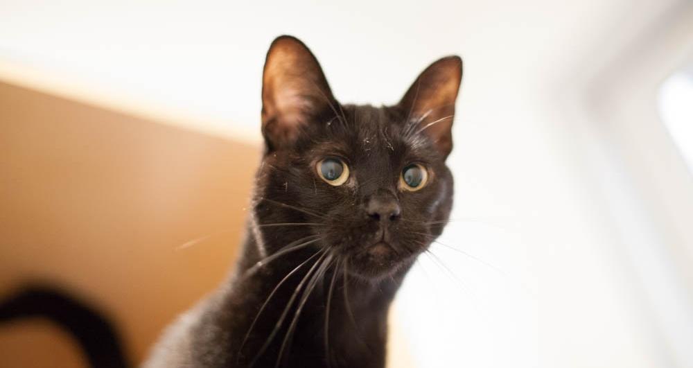 darcy-black-cat-cattown