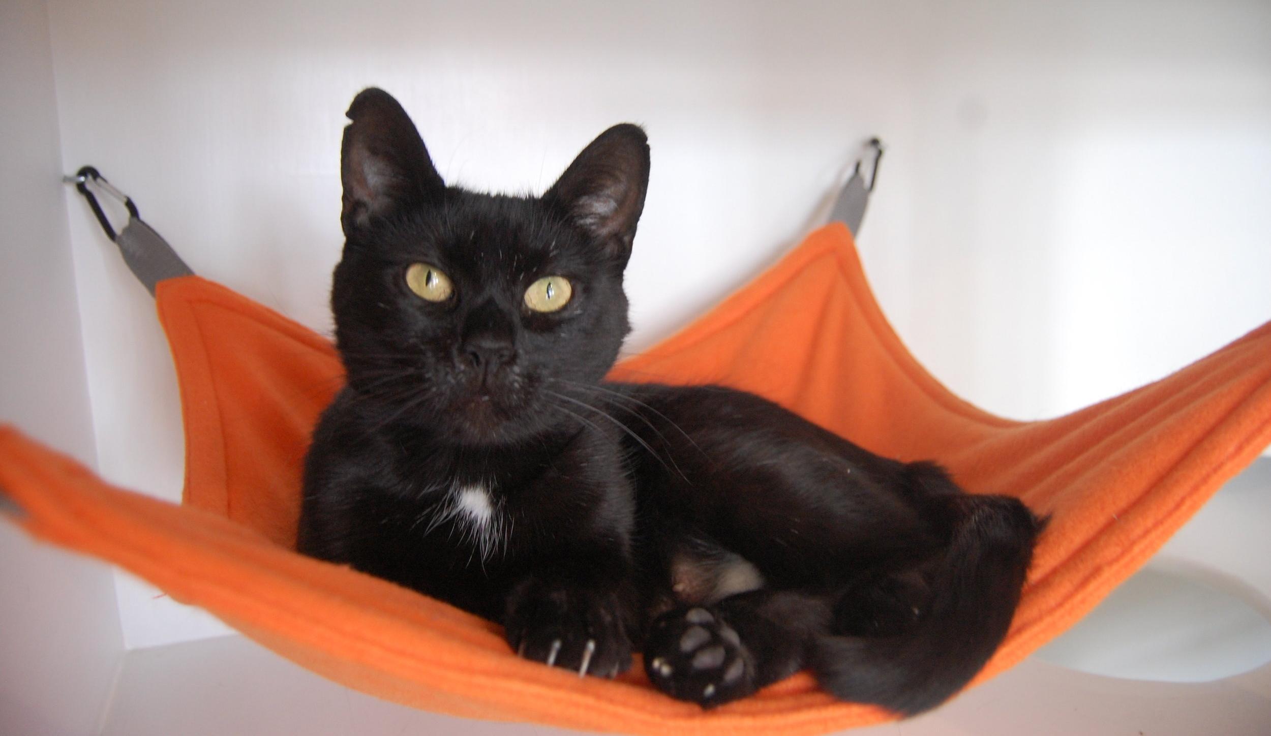 mimosa-black-cat-cattown