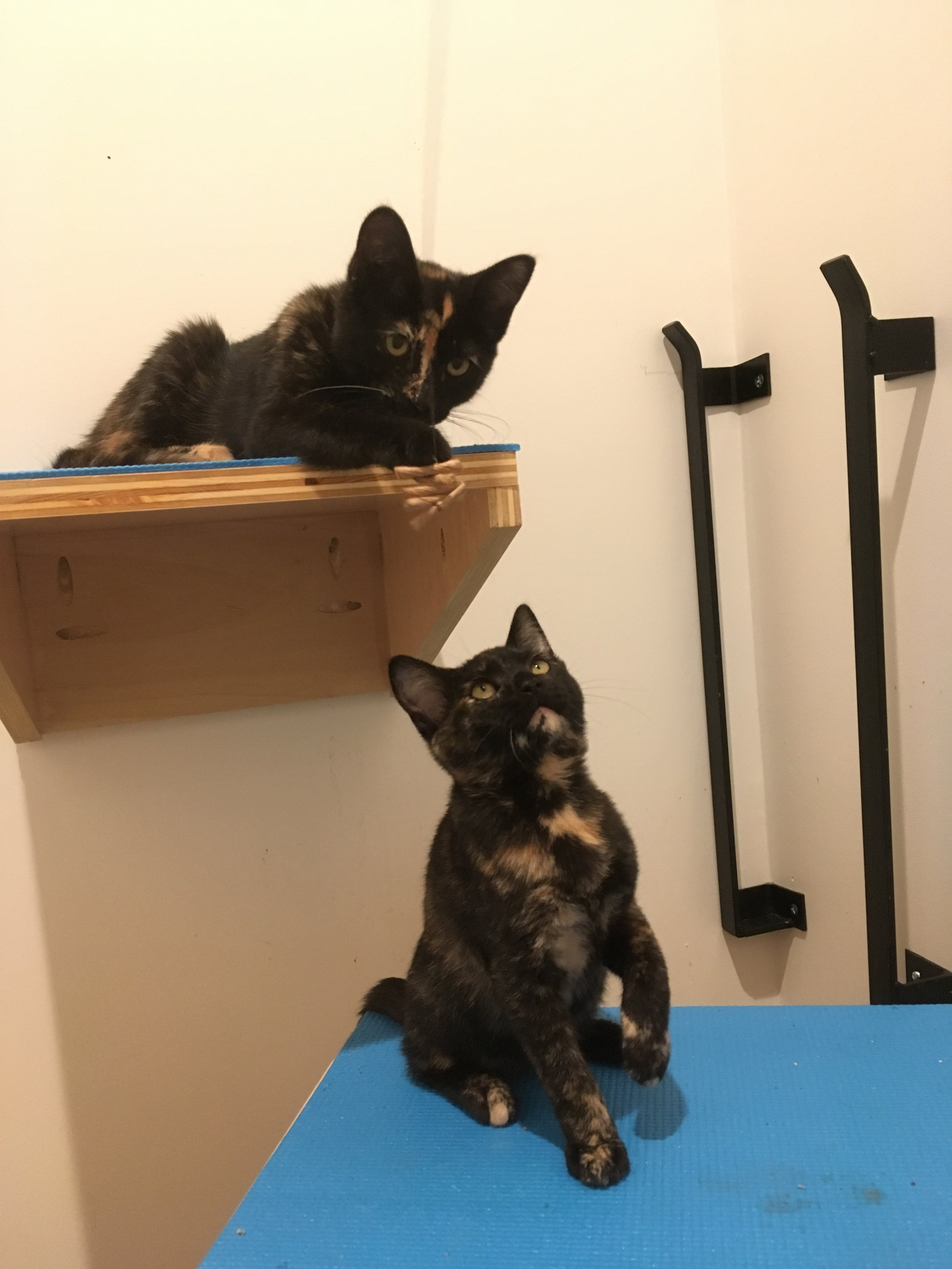 Tortie time - Sheila (top) and Jennifer have been stealing hearts — and plenty of treats. They are playful and outgoing at 4-months-old.
