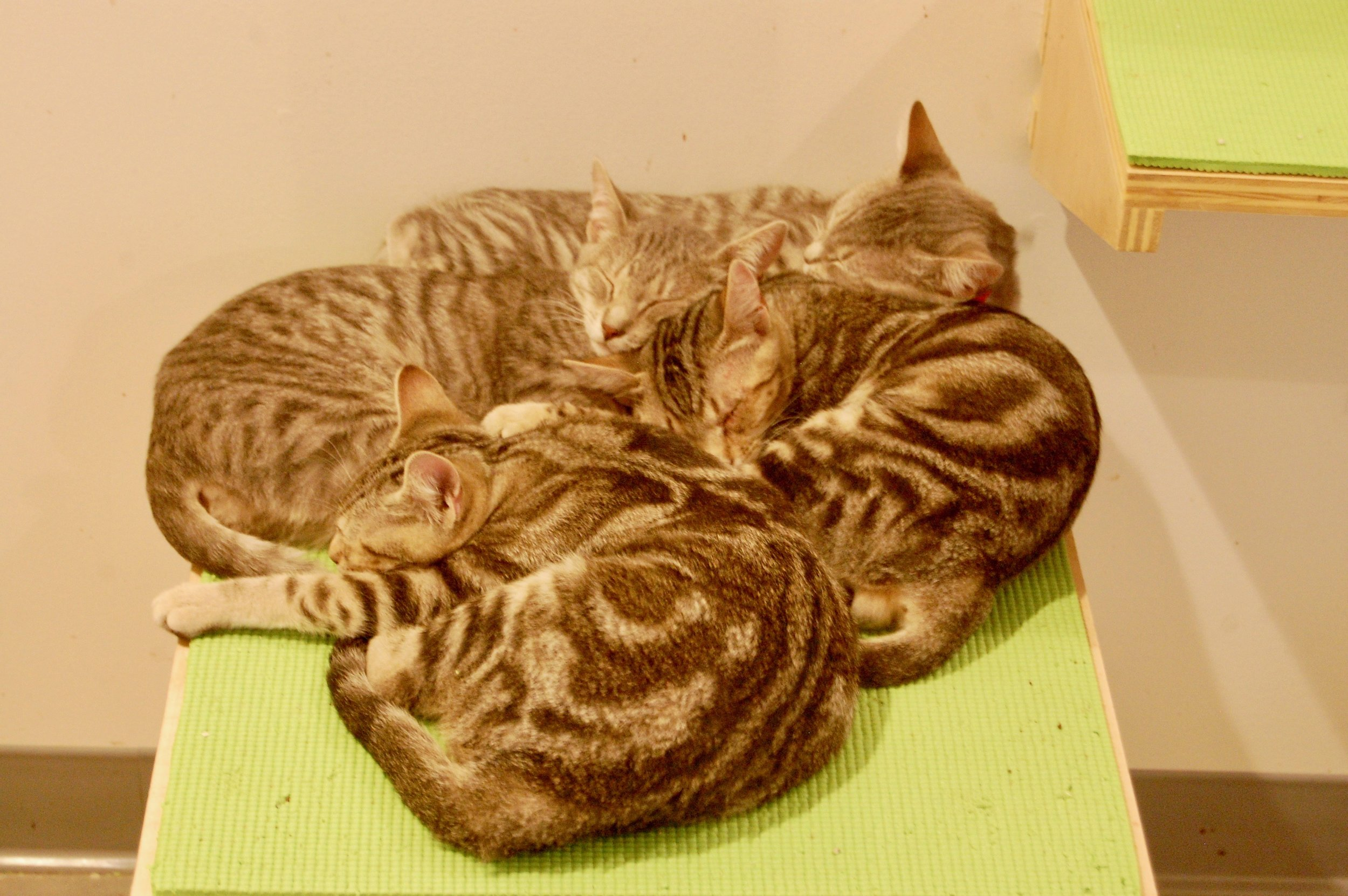 Tabby cuddle puddles are trending at Cat Town! Forgotten Kittens, Kimchi, Bulgogi, Soju, and Mandoo take a rest after playing. Photo by Cathy Niland.
