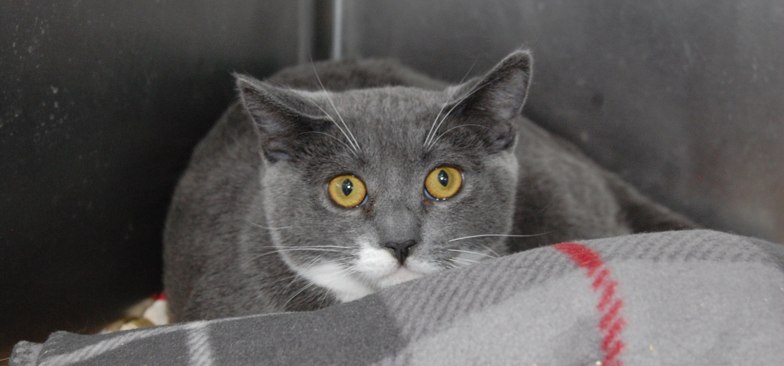 A five-month-old kitten sits in her shelter cage. Soon she'll make the move to Cat Town.