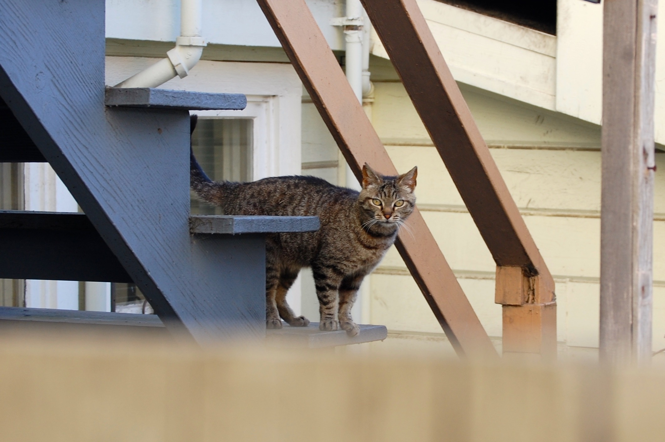 A feral cat waits for dinner at a safe distance. Feral colonies depend on humans to provide a consistent food source.