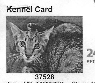 Merlin, a former stray cat, on the day he was taken to Oakland Animal Services.