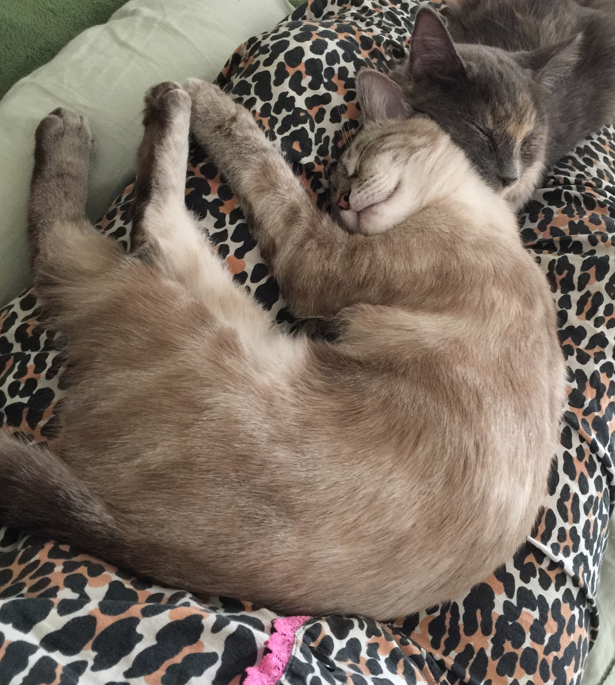 Graduates of the Forgotten Kitten Project, Aspen and Willow Leaf, formerly known as just Leaf, cuddle at their home. Photo contributed