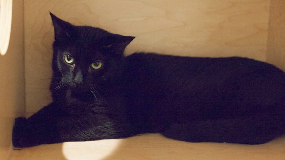 Already equipped with the good looks, Milton is destined to be a handsome house panther. Photo by Liz Lazich.