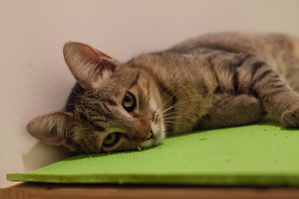 Rex takes a quick rest after a play session in his studio. Photo by Liz Lazich.
