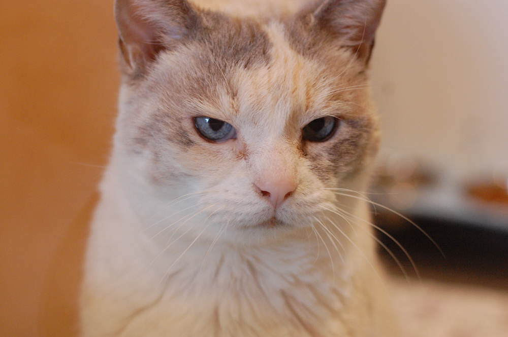 Nancy knows she's royalty! Email info@cattownoakland.org to talk about adopting.