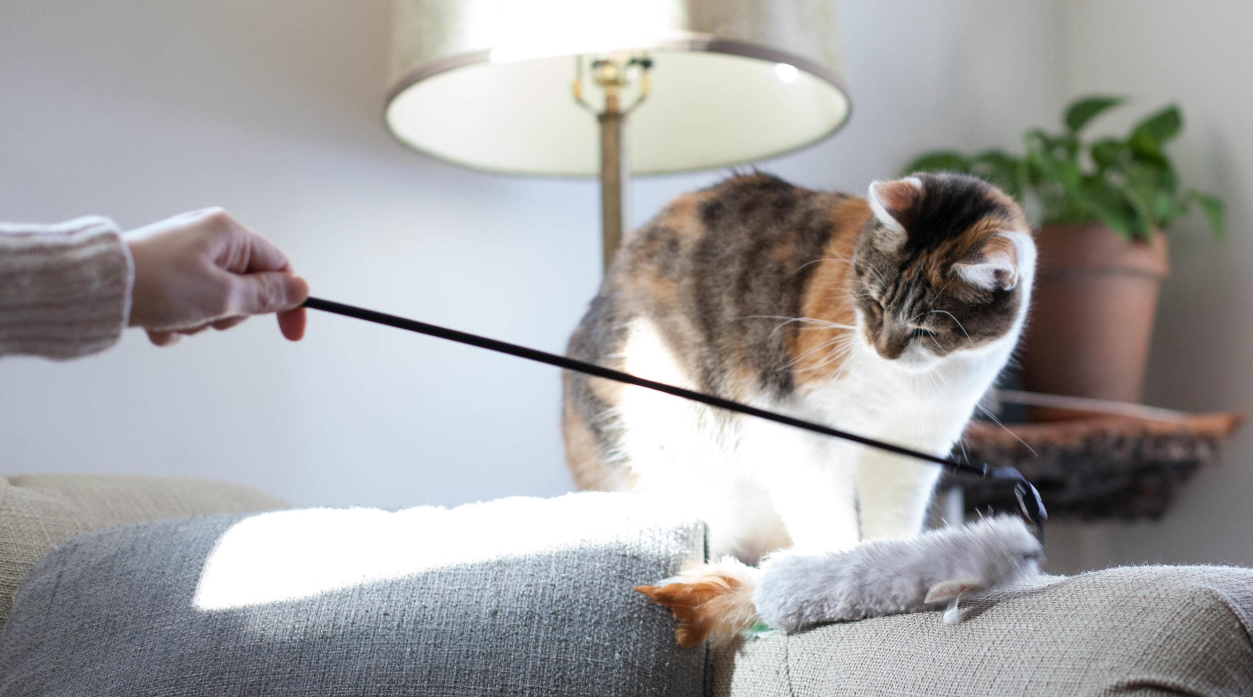 Cassie, one of our foster cats, loves pets and playtime—perfectly suited to life at home!