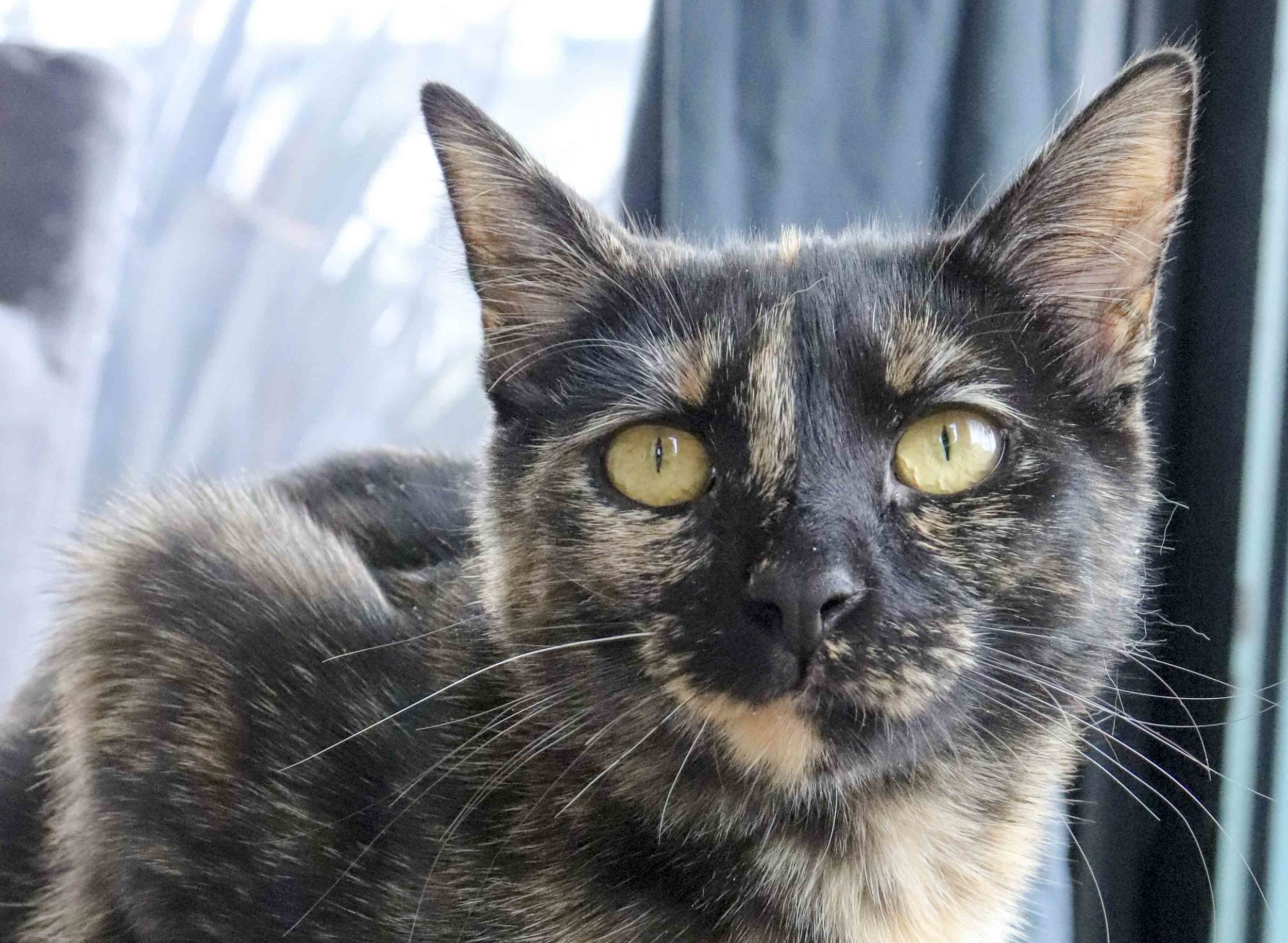 Cats like Turtle are still available for adoption and treatment at home is fairly easy.