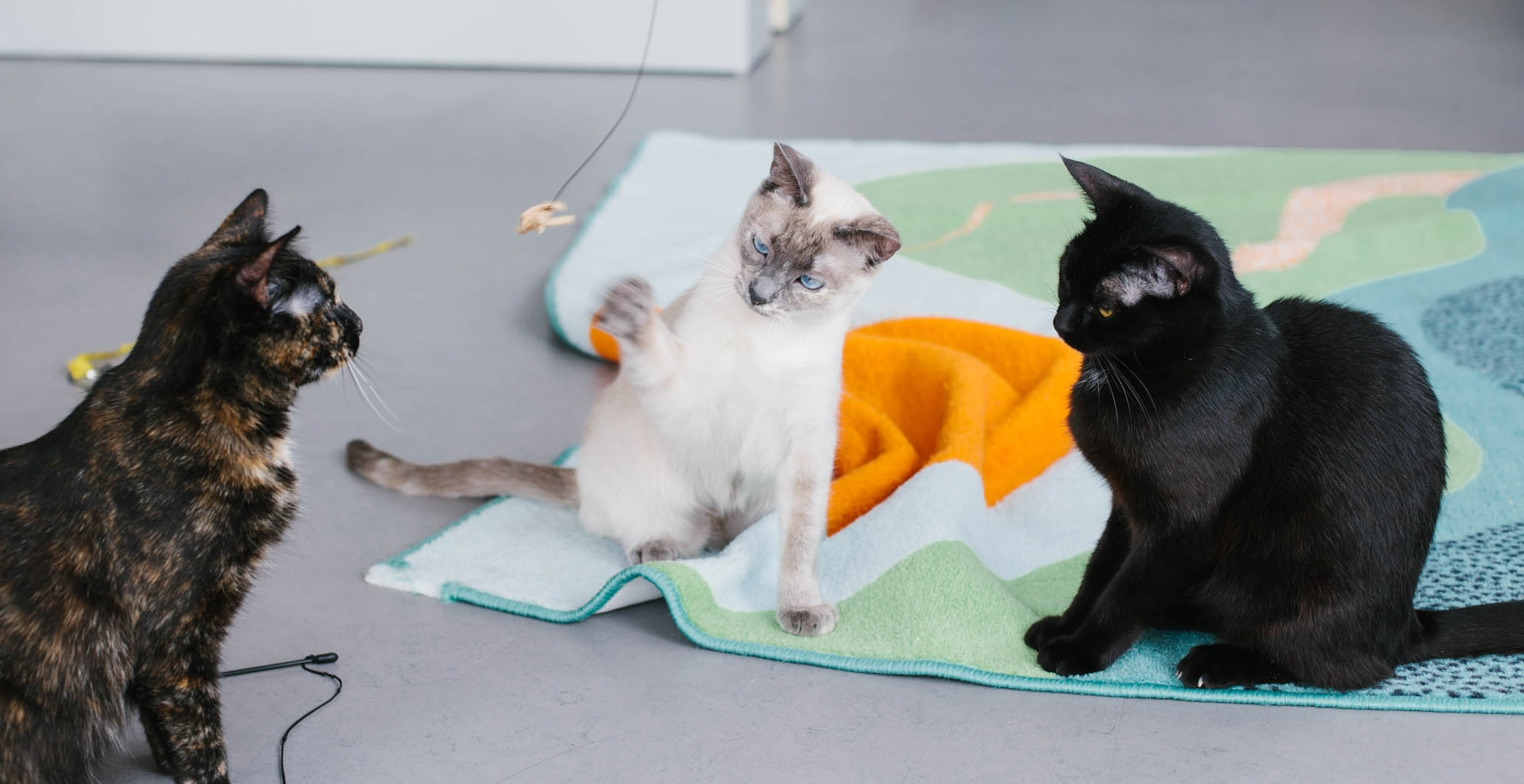 Tyra, like lots of Forgotten Kittens, has built confidence through play. Photo by Scott Russell.