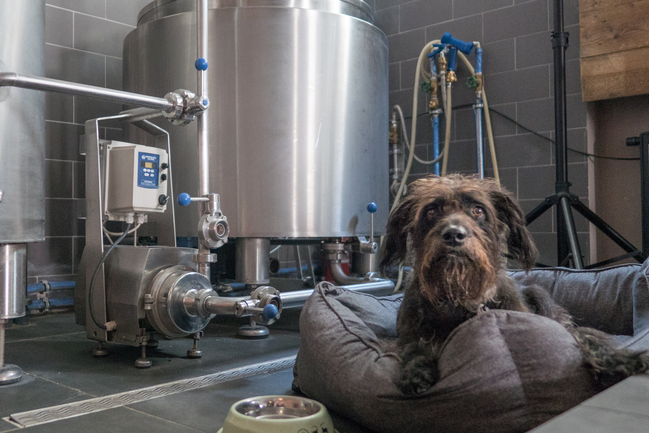 Marty the dog at Beaver Brewing company in Vienna is on guard duty at the brewery