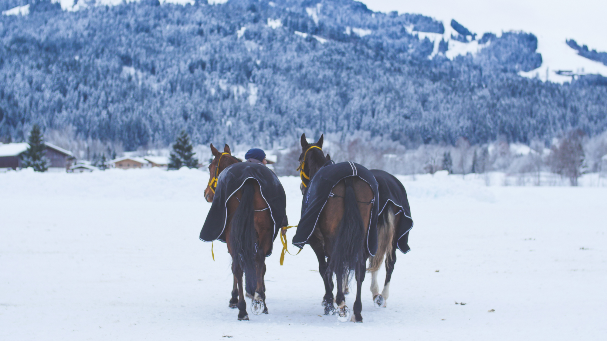 snow polo horses take a break between games in the mountains of Austria