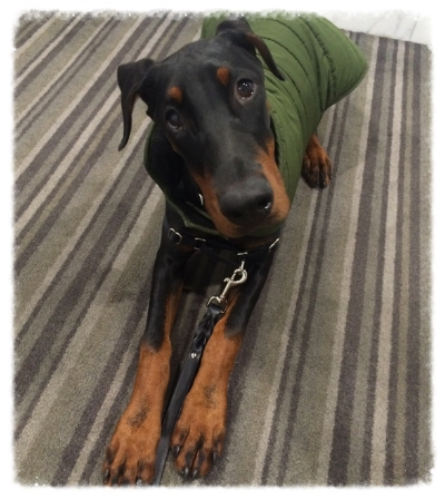 KATHRYN ~ ARIA'S MOM - The crew at Liberty Pooch are family to us. We've been with them since Aria, our Doberman, was only 3 months old and they have alway gone above and beyond when it comes to caring for our girl! From late night walks, to supplemental training, ensuring she was getting the best nutrition, boarding, and who can forget the nap time cuddles, they truly do it all! The time and energy I've witnessed them personally invest in our pooch, and the improvements we've seen in her are proof enough to us that we found the best care possible for our pup.Thank-you for everything you've done and will continue to do with our girl!