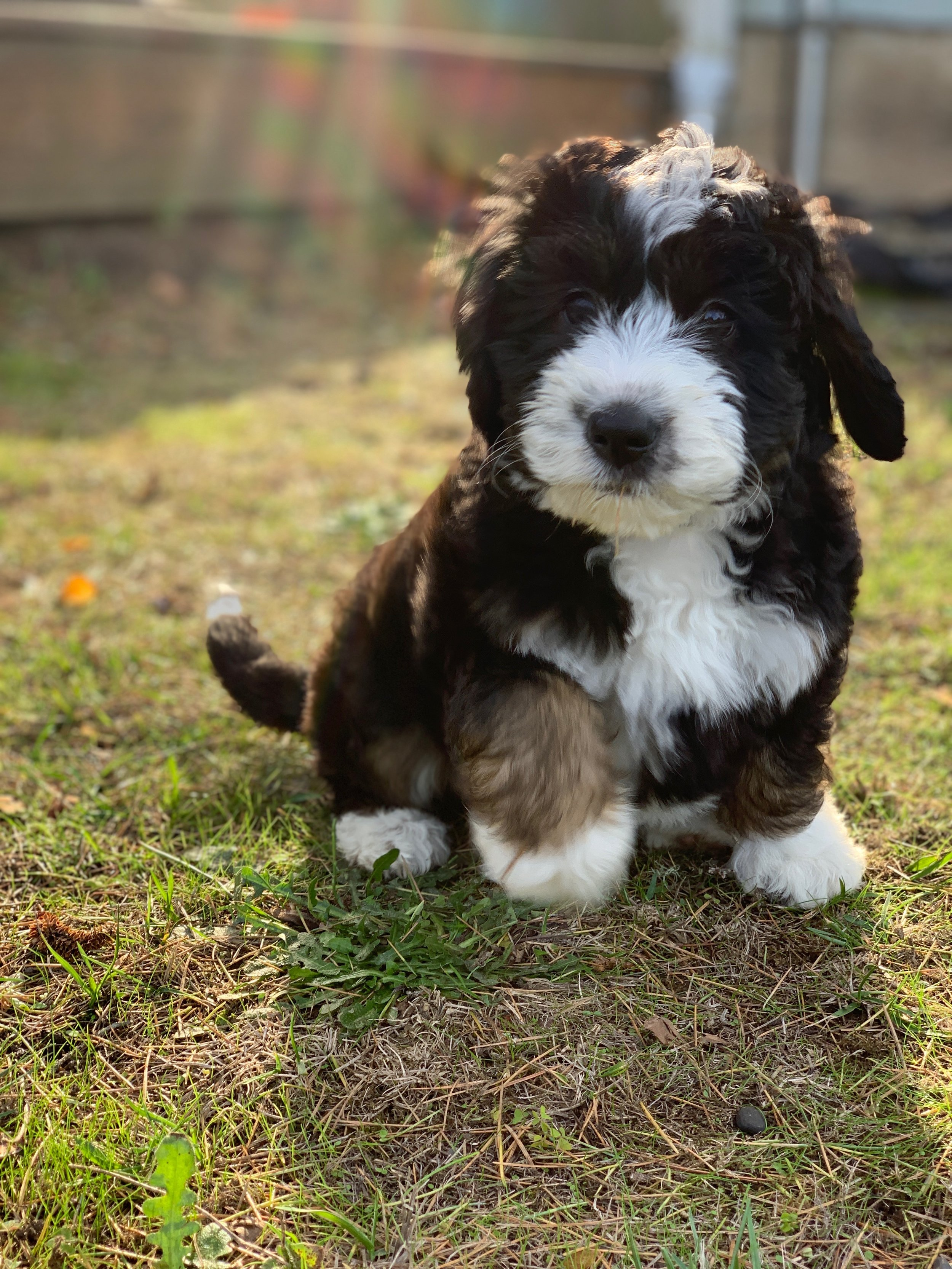 Ranch House Bernedoodles
