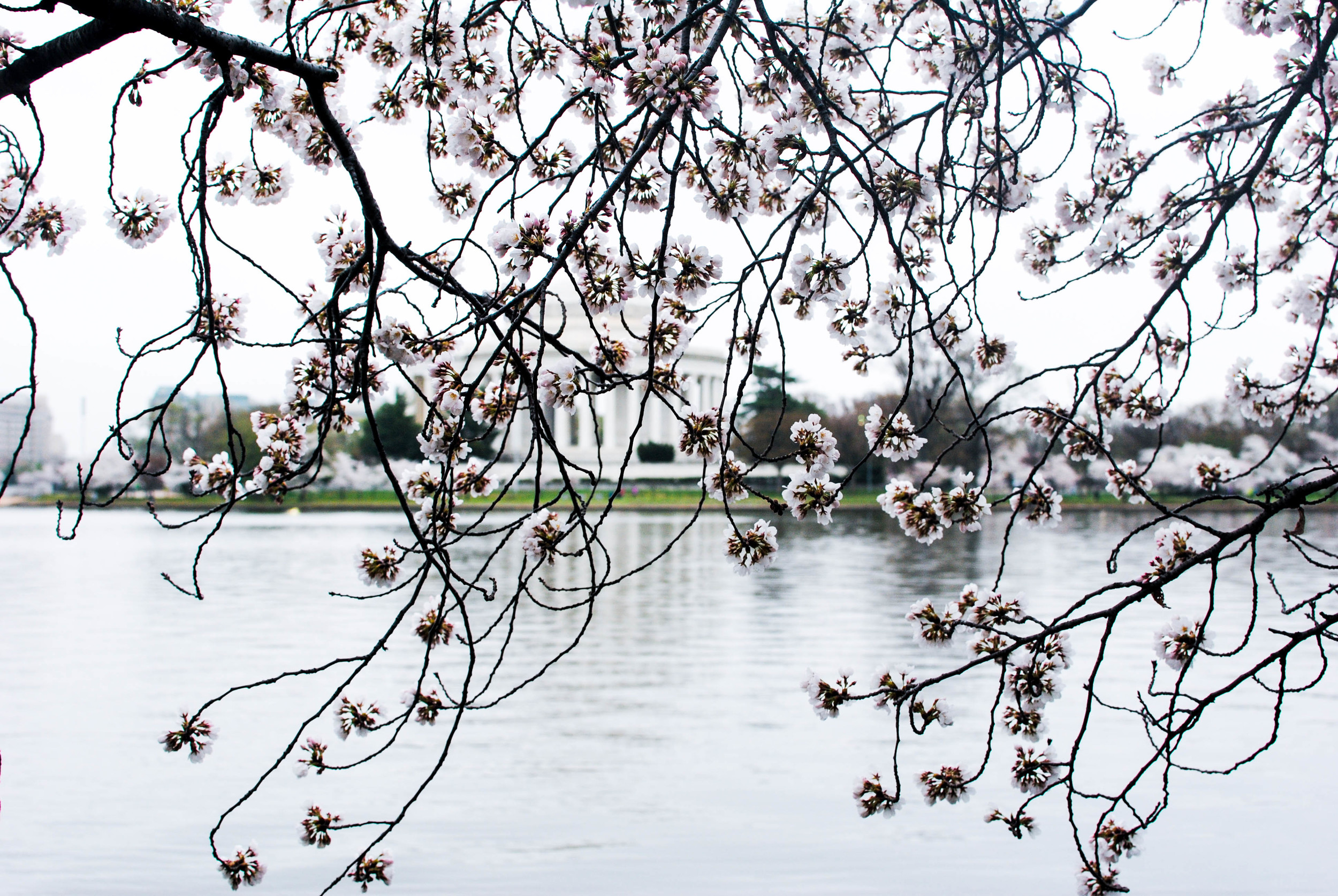 cherry blossoms @ the jefferson memorial.