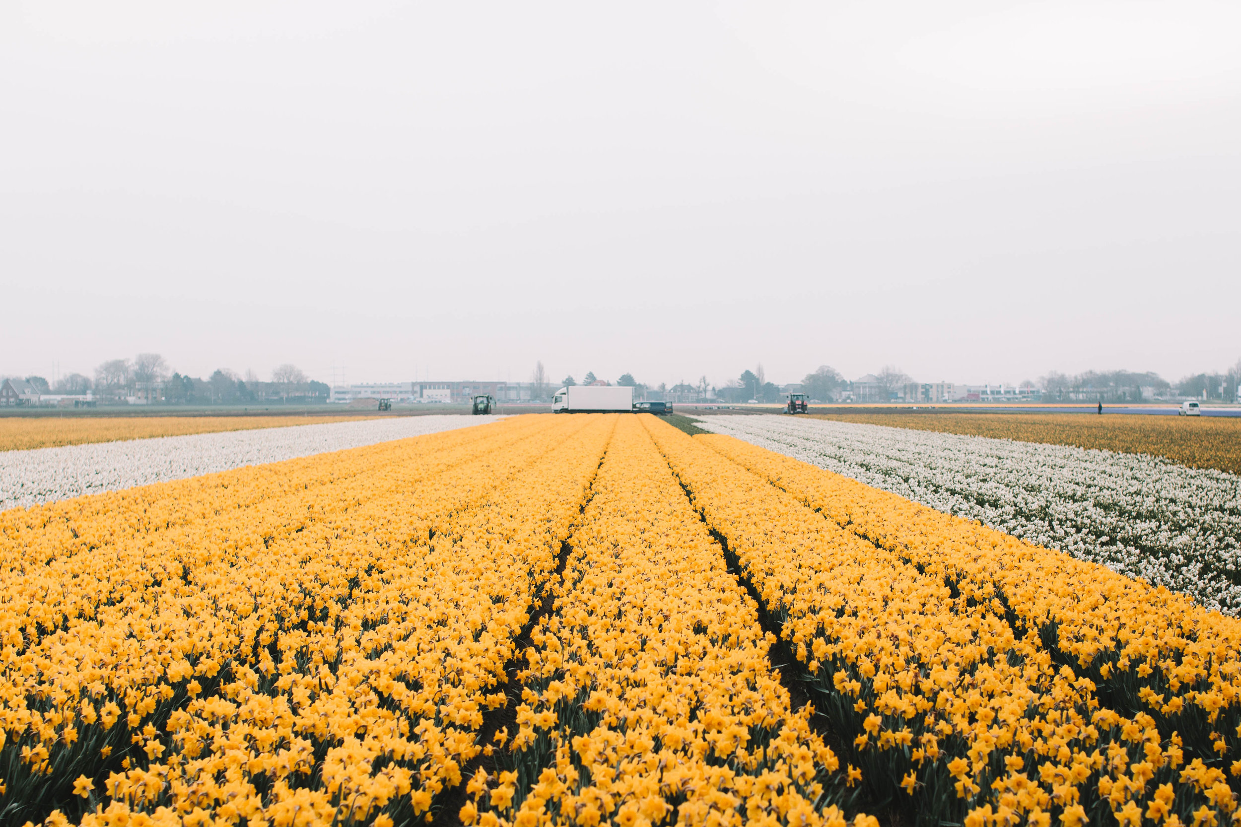 daffodil and tulip farmers at work