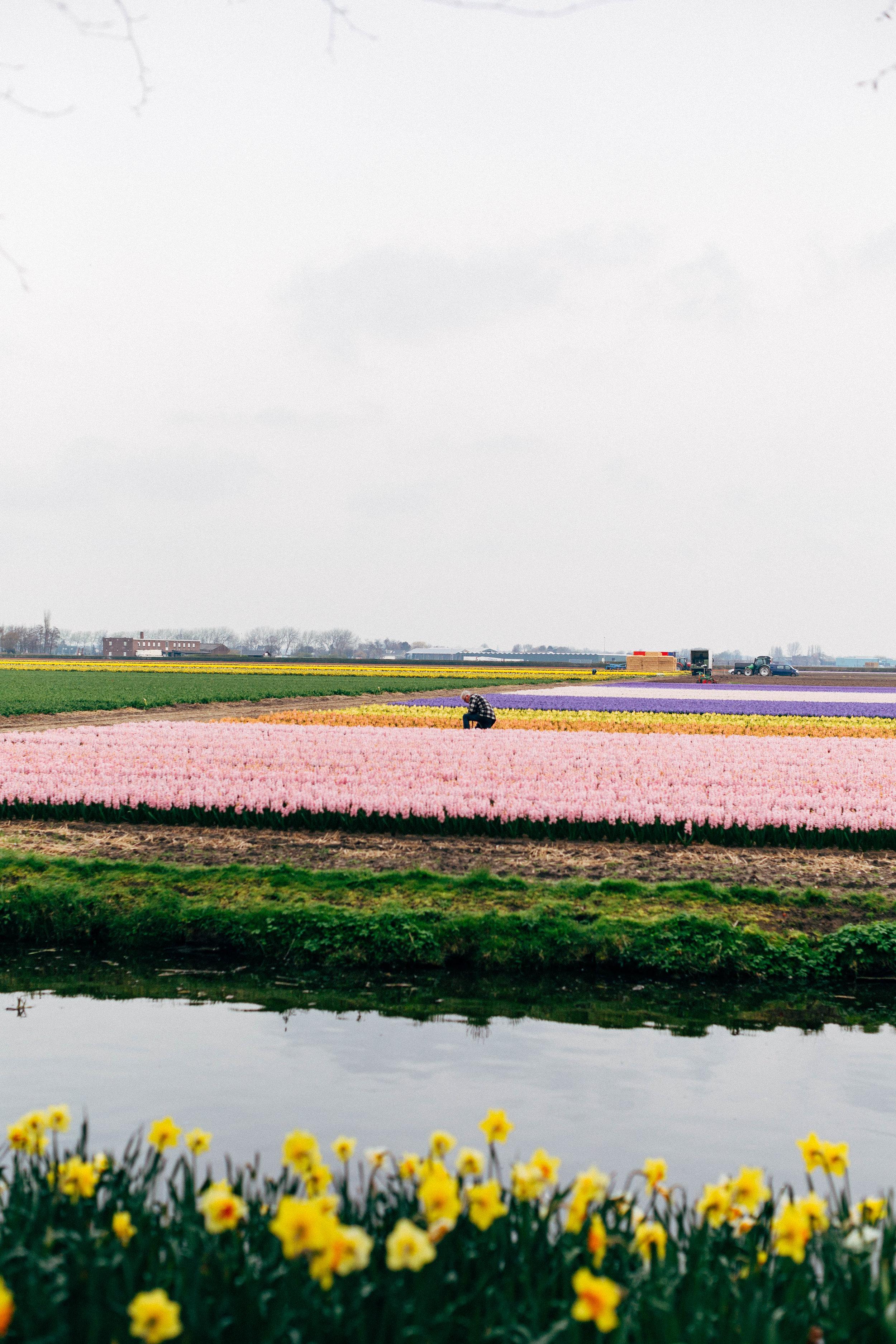 Dutch-flower-farmer-Keukenhof