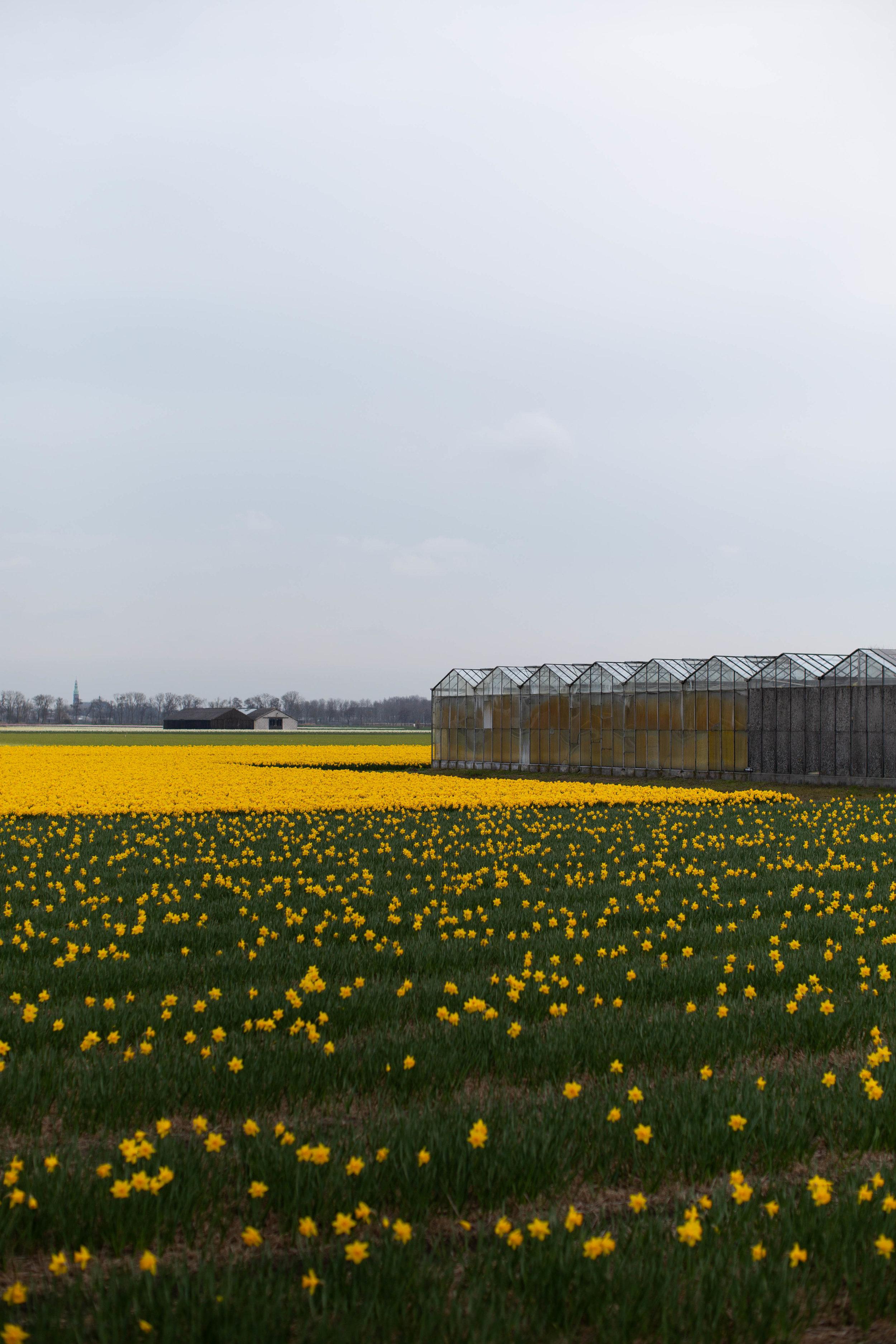 lisse. flower farm. 2019.