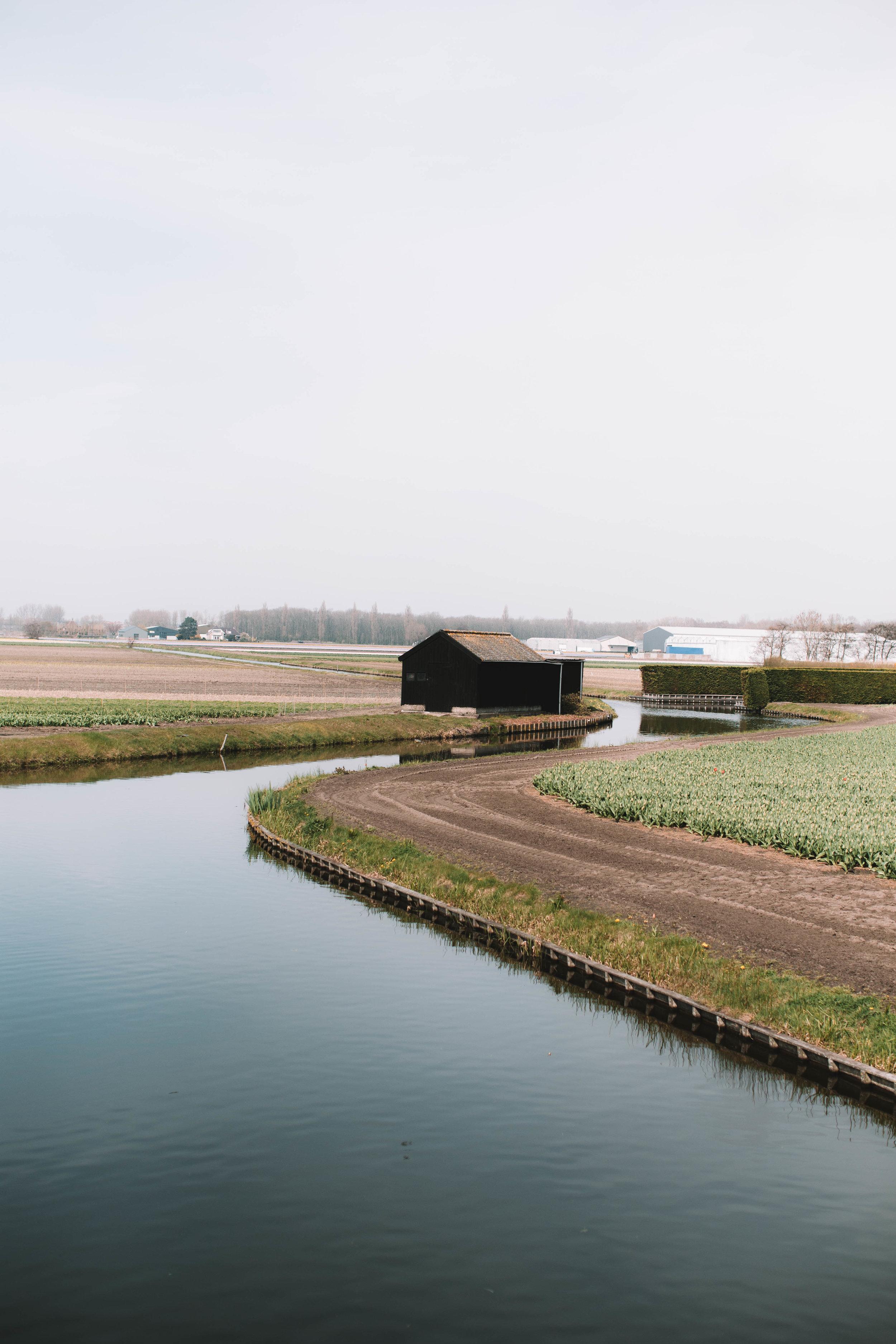 tulip-farm-lisse